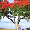 Flamboyant tree - Ohňový strom pri Saint-Leu, západné pobrežie