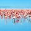 Najväčšia koncentrácia plameniakov na svete v jazere Nakuru