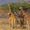Prírodná rezervácia Samburu