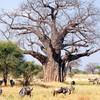 Baobab - symbol Afriky