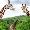 Žirafy sieťované