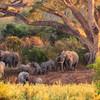 Populácia slonov afrických