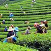 Čajová plantáž v oblasti Chiang Rai - Thajsko
