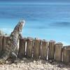 Leguán na pláži