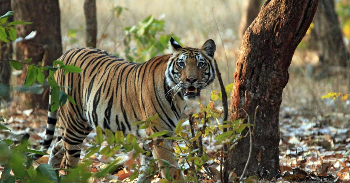 Tigrie národné parky - ako z Knihy džunglí